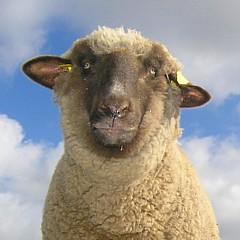 Patenschaft für Schafe
