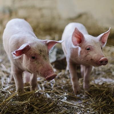 Patenschaft für Schweine