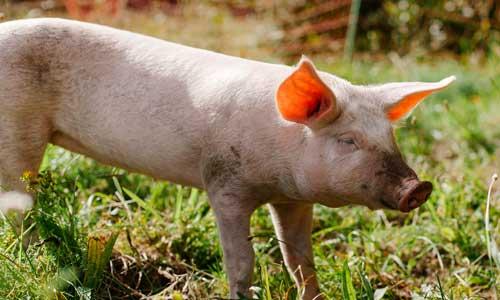 """Schwein Pauline im Land der Tiere, einem Lebenshof für ehemalige """"Nutztiere"""" in Mecklenburg-Vorpommern, idyllisch gelegen im Biosphärenreservat Flusslandschaft Elbe zwischen Hamburg und Berlin"""