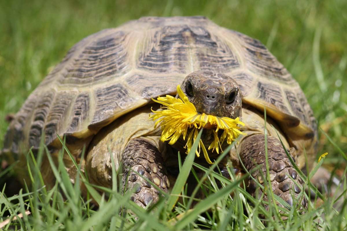 """Schildkröte Hui-Buh im Land der Tiere, einem Lebenshof für ehemalige """"Nutztiere"""" in Mecklenburg-Vorpommern, idyllisch gelegen im Biosphärenreservat Flusslandschaft Elbe zwischen Hamburg und Berlin"""