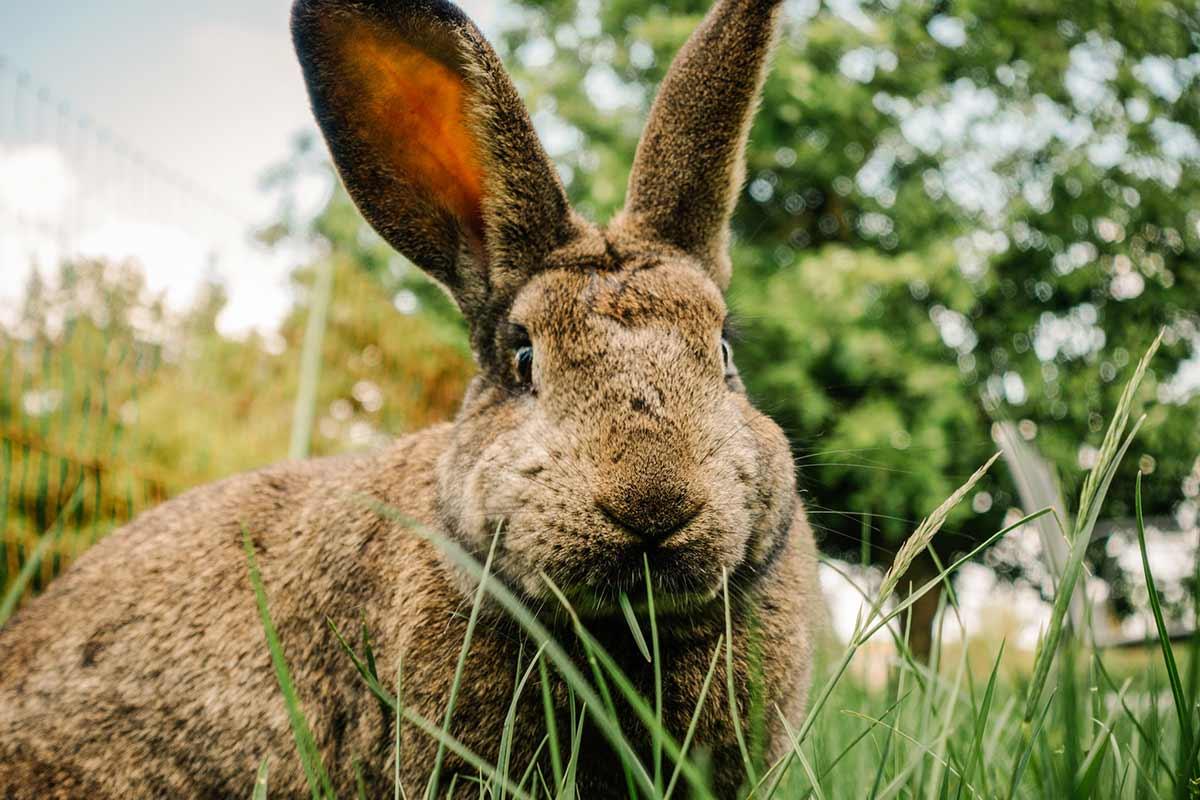 """Kaninchen Eva im Land der Tiere, einem Lebenshof für ehemalige """"Nutztiere"""" in Mecklenburg-Vorpommern, idyllisch gelegen im Biosphärenreservat Flusslandschaft Elbe zwischen Hamburg und Berlin"""