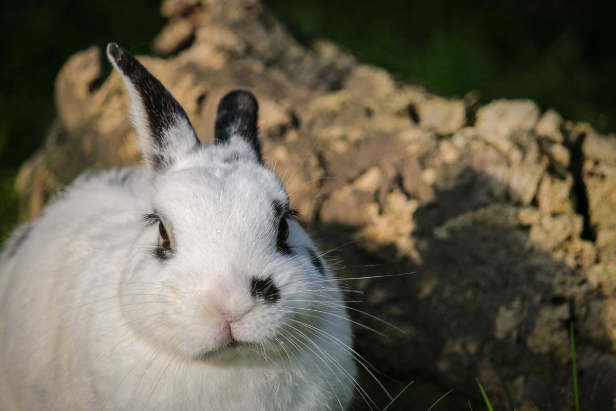 """Kaninchen Sappho im Land der Tiere, einem Lebenshof für ehemalige """"Nutztiere"""" in Mecklenburg-Vorpommern, idyllisch gelegen im Biosphärenreservat Flusslandschaft Elbe zwischen Hamburg und Berlin"""