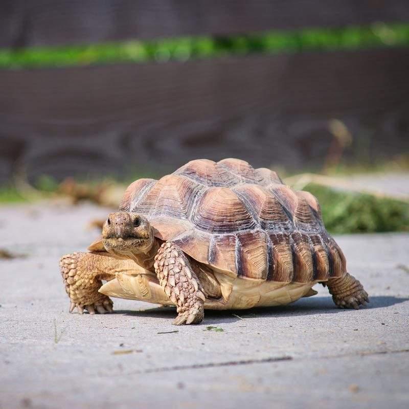 Schildkröte Sunny im Land der Tiere, dem veganen Lebenshof zwischen Hamburg, Lüneburg und Berlin