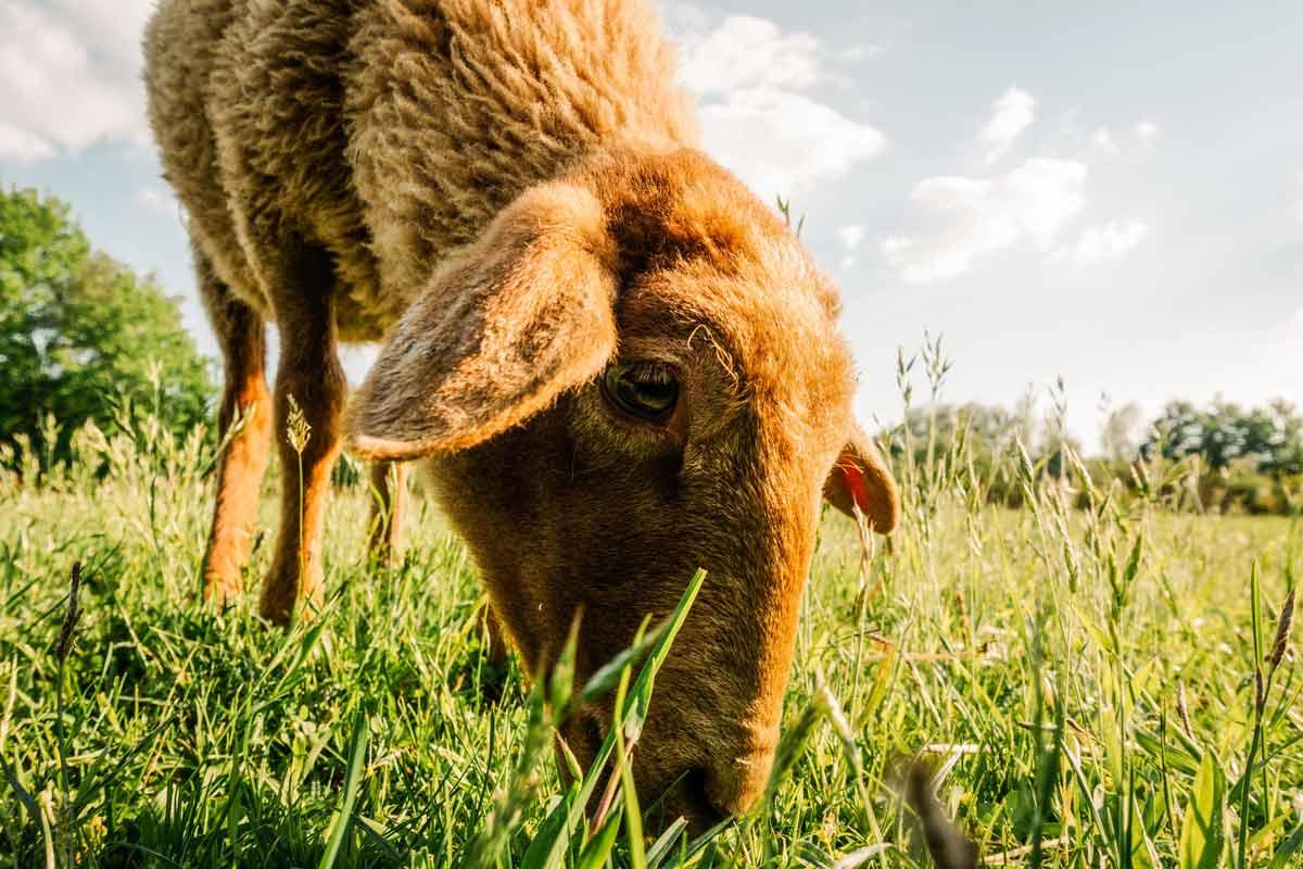 Das Schaf Ronja im Land der Tiere, dem veganen Lebenshof zwischen Hamburg, Lüneburg und Berlin
