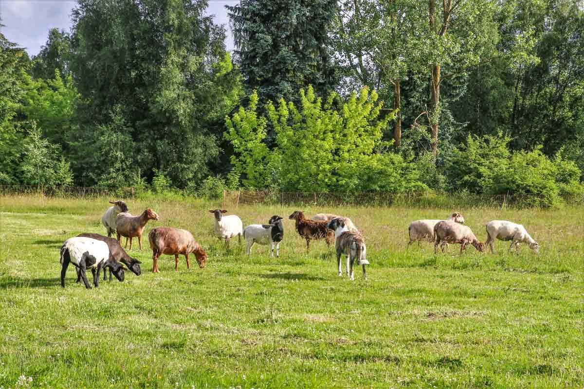 Muli und die Schafe im Land der Tiere, dem veganen Lebenshof zwischen Hamburg, Lüneburg und Berlin
