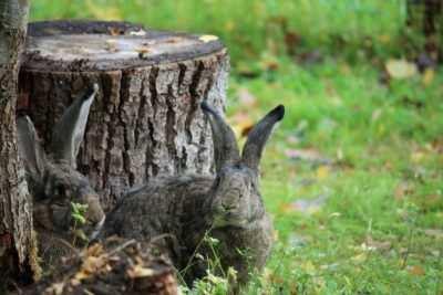 Die Kaninchen in ihrem Gehege bei Haus #1
