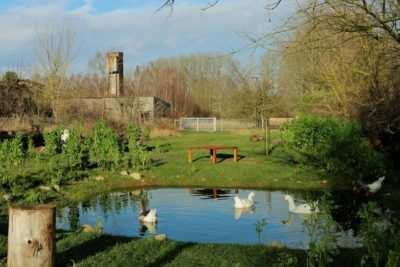 Die badenden Gänse im Teich bei Haus #1