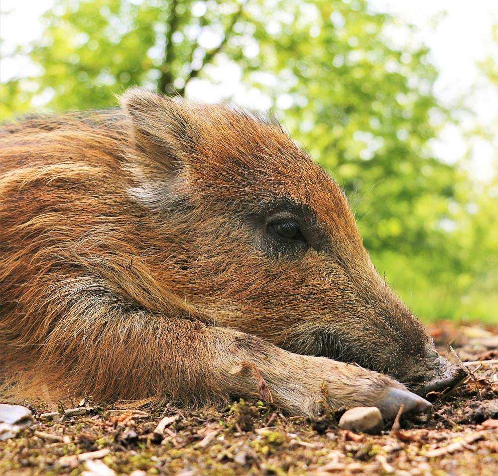 Wildschwein Pippa im Land der Tiere