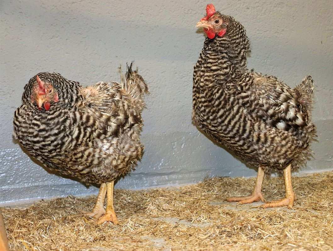 Die Hühner Mamka & Majka im Land der Tiere