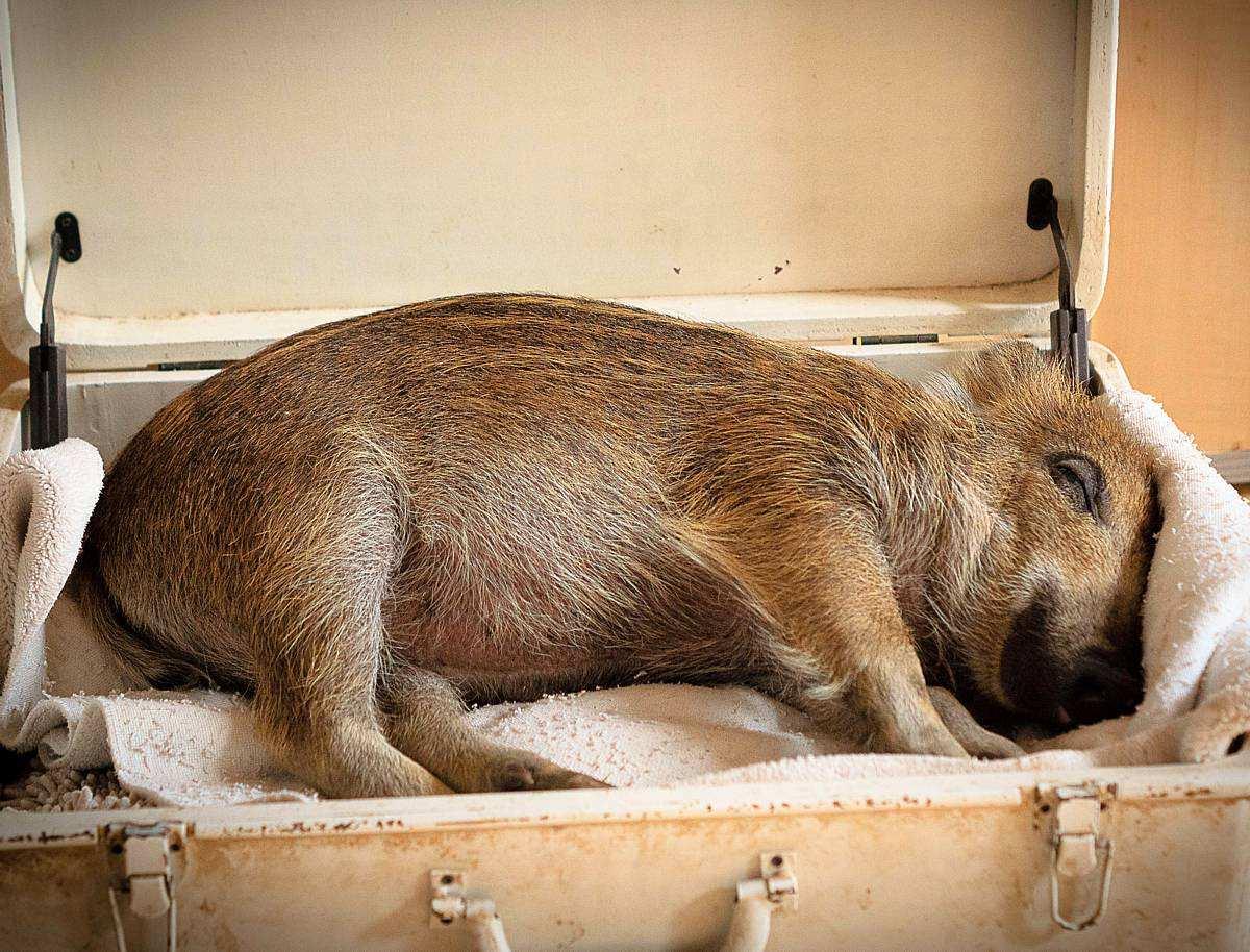 Resi, Wildschweinkind in ihrem ersten Zuhause