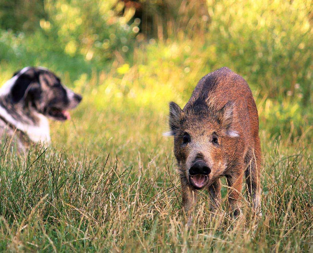Resi, Wildschweinkind im Land der Tiere