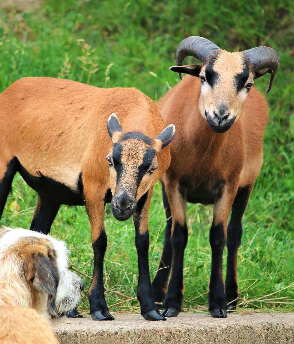 Toto, Schaf im Land der Tiere