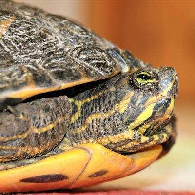 Cumberland-Schmuckschildkröte gefunden