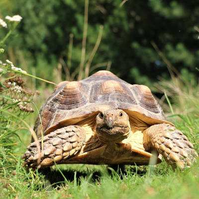 Spornschildkröte Sunny im Land der Tiere