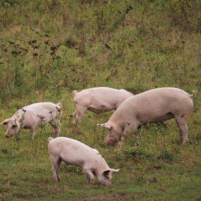 Schweine Anni, Felix, Knut und Helge im Land der Tiere