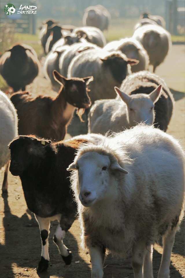 Lohreley und Bärta, gerettete Ziegen im Land der Tiere